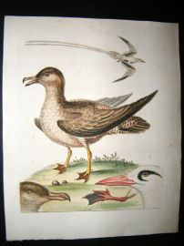 George Edwards C1750 Antique Hand Col Bird Print. Petrel